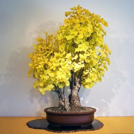 Ginkgo Biloba tree australia